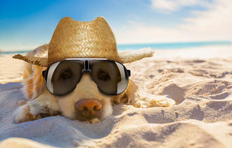 Golden Retriever dog relaxing.