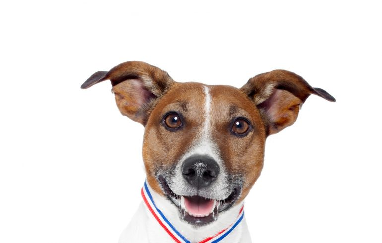 A dog - Jack Russel Terrier with a gold medal and a trophy.